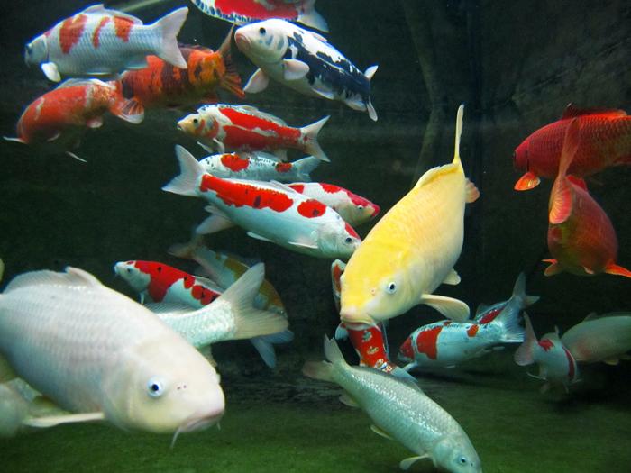 Carpes ko doyo for Carpe koi aquarium